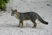 Серые лисы научились маскироваться под пум