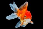 Голландец выловит из городского канала 80 золотых рыбок