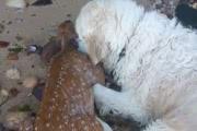 Собака спасла тонущего олененка: трогательное видео