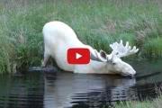 В Швеции нашли абсолютно белого лося