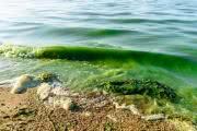 Водоемы США могут заполонить токсичные водоросли