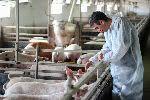 5500 свиней и 3,4 млн цыплят погибли из-за урагана «Флоренс»